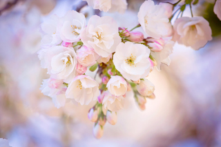 Cherry Blossom Branch Picture for Android, iPhone and iPad