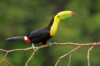 Brazilian Toco toucan Picture for Android, iPhone and iPad