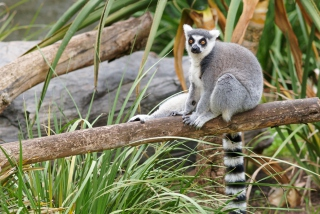 Funny Lemur Wallpaper for Android, iPhone and iPad