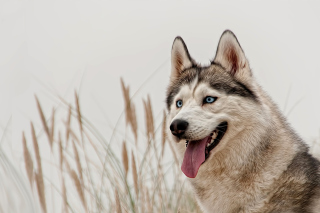 Free Husky Picture for Android, iPhone and iPad