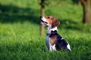 Beagle Dog Wallpaper for Android, iPhone and iPad