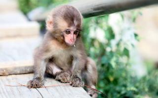Baby Monkey - Obrázkek zdarma pro Samsung Galaxy Q