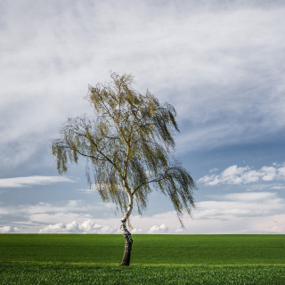 Lonely Birch on Field - Obrázkek zdarma pro 320x320