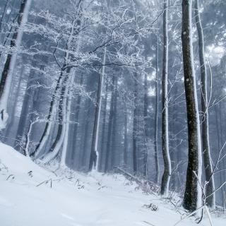 Winter Forest - Obrázkek zdarma pro 1024x1024