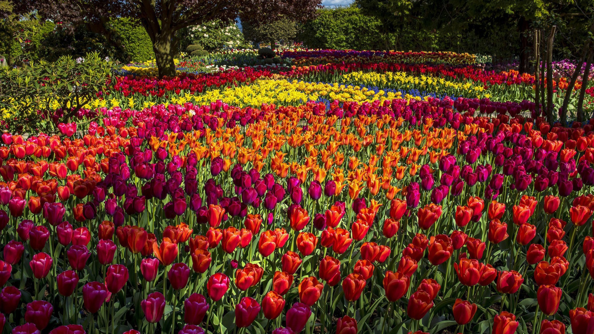 Spring Tulips Garden Wallpaper For Desktop 1920x1080 Full Hd