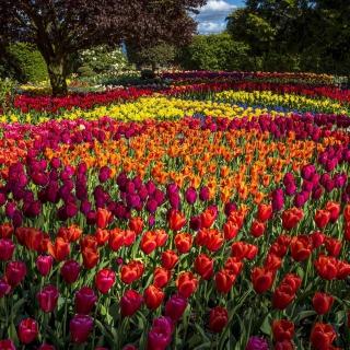 Spring Tulips Garden - Obrázkek zdarma pro 128x128