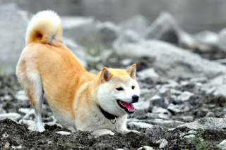 Akita Inu Picture for Android, iPhone and iPad