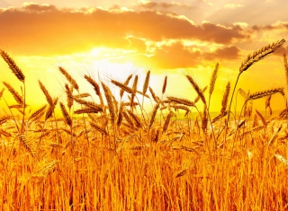 Wheat Background for Android, iPhone and iPad