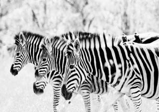 Zebras - Obrázkek zdarma pro 1600x1280