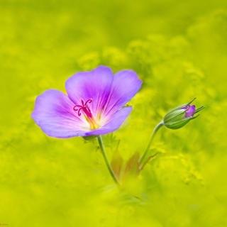 Single wildflower - Obrázkek zdarma pro 320x320