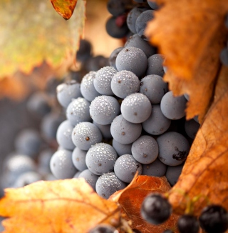 Grapes - Obrázkek zdarma pro 320x320