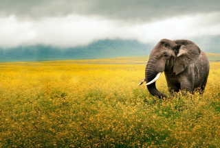 Wild Elephant On Yellow Field In Tanzania - Obrázkek zdarma pro Samsung Galaxy S4