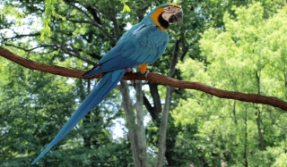 Macaw Wallpaper for Android, iPhone and iPad