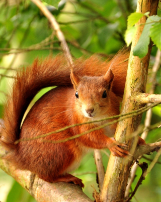 Squirrel in Taiga - Obrázkek zdarma pro Nokia Asha 202