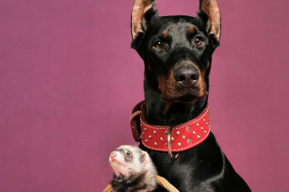 Doberman Picture for Android, iPhone and iPad