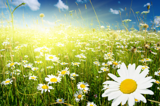Camomile Field Wallpaper for Android, iPhone and iPad