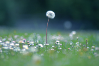Blowball Wallpaper for Android, iPhone and iPad