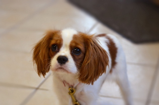 Charles Spaniel Puppy Background for Android, iPhone and iPad