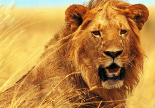 Free Wild Lion Picture for Android, iPhone and iPad