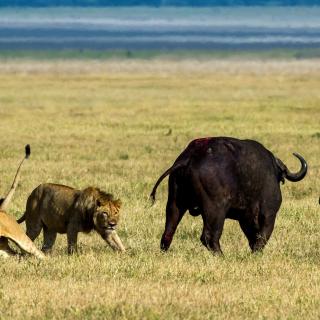 Lions and Buffaloes - Obrázkek zdarma pro iPad mini 2