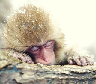 Japanese Macaque Sleeping Under Snow - Obrázkek zdarma pro 208x208