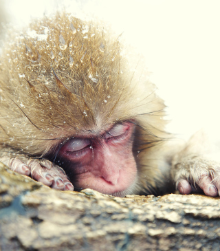 Japanese Macaque Sleeping Under Snow - Obrázkek zdarma pro 480x640
