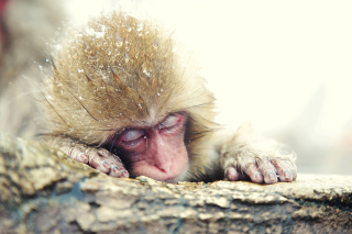 Japanese Macaque Sleeping Under Snow Background for Android, iPhone and iPad
