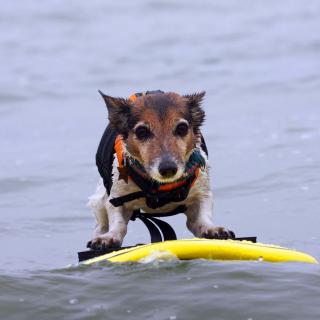 Surfing Puppy - Obrázkek zdarma pro 2048x2048