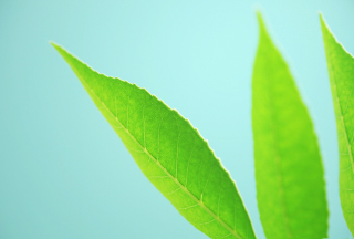 Green Leaves On Blue Background Background for Android, iPhone and iPad
