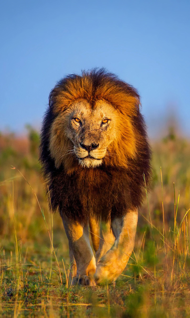 Lion images for facebook