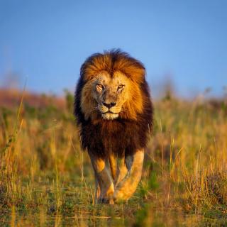 Kenya Animals, Lion - Obrázkek zdarma pro iPad mini 2
