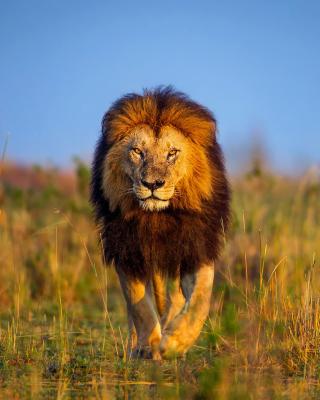 Kenya Animals, Lion - Obrázkek zdarma pro iPhone 4