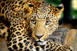 Leopard sfondi gratuiti per cellulari Android, iPhone, iPad e desktop