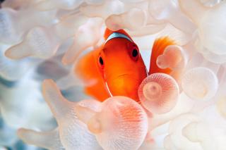 Orange Clownfish sfondi gratuiti per cellulari Android, iPhone, iPad e desktop