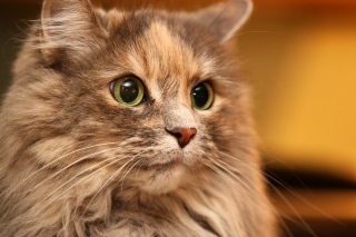 Fluffy cat Background for Android, iPhone and iPad