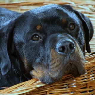 Rottweiler Dog - Obrázkek zdarma pro 208x208