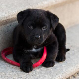 Black puppy - Obrázkek zdarma pro 208x208
