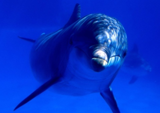 Free Dolphin Picture for Android, iPhone and iPad