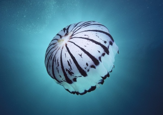 Free Purple Jellyfish Picture for Android, iPhone and iPad