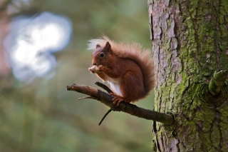 Red Squirrel Wallpaper for Android, iPhone and iPad