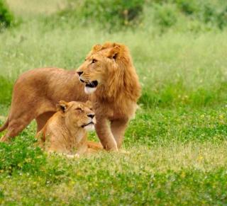 Lion And Lioness - Obrázkek zdarma pro iPad Air