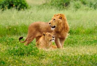 Lion And Lioness - Obrázkek zdarma pro Samsung Galaxy Note 4