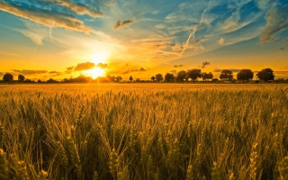 Sunset And Wheat Field Wallpaper for Android, iPhone and iPad