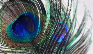 Peacock Feather - Obrázkek zdarma pro Android 600x1024