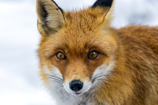 Free Fox Look Picture for Android, iPhone and iPad