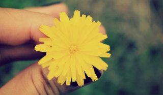 Yellow Dandelion Flower Wallpaper for Android, iPhone and iPad