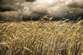 Wheat Under Black Storm Picture for Android, iPhone and iPad