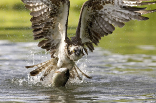 Hawk With Fish Wallpaper for Android, iPhone and iPad
