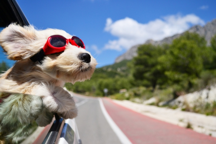Dog in convertible car on vacation wallpaper
