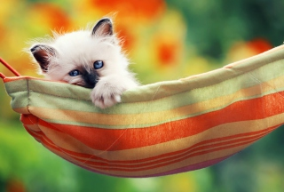 Super Cute Little Siamese Kitten Background for Android, iPhone and iPad
